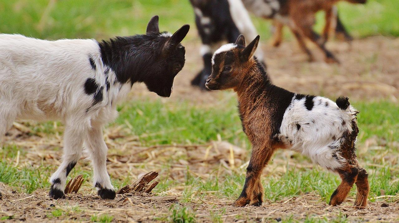 goats-1311755_1280.jpg