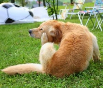 Excessive itching can be one sign of seasonal allergies in your pet. Photo by Vetstreet.com