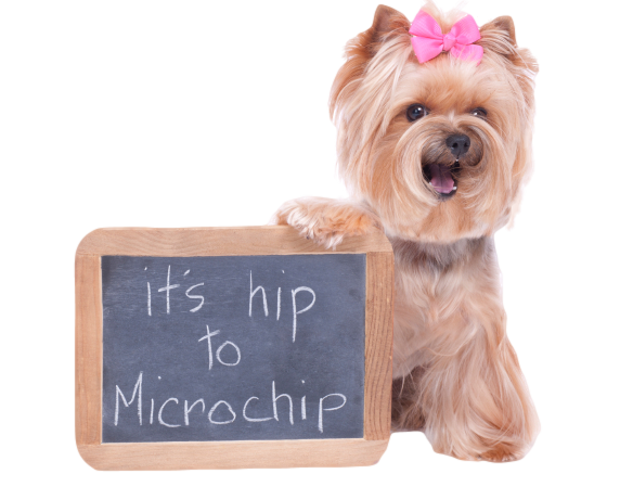 Microchipping your pet increases your chance or reuniting with him/her more than 200% than licensing alone. Photo courtesy of Cherry Ridge Veterinary Clinic.