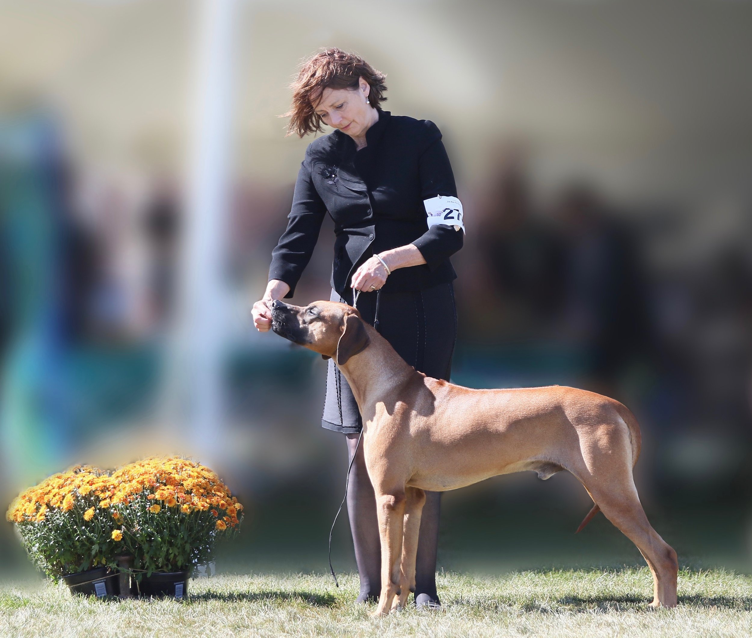 The Duke 1st Place Bred By Exhibitor Dog and 2016 NOHS #3 Ridgeback.jpg