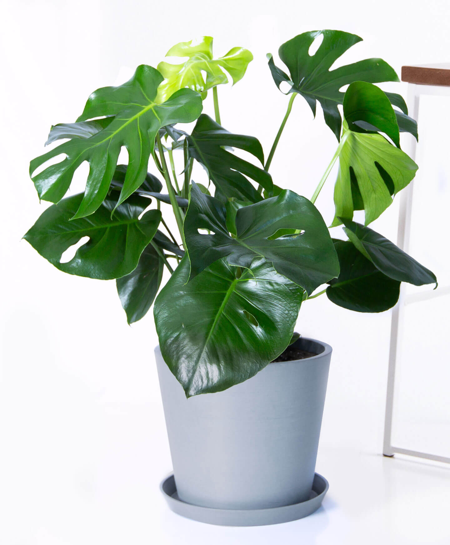 Seventh and Oak HQ-Monstera.jpg
