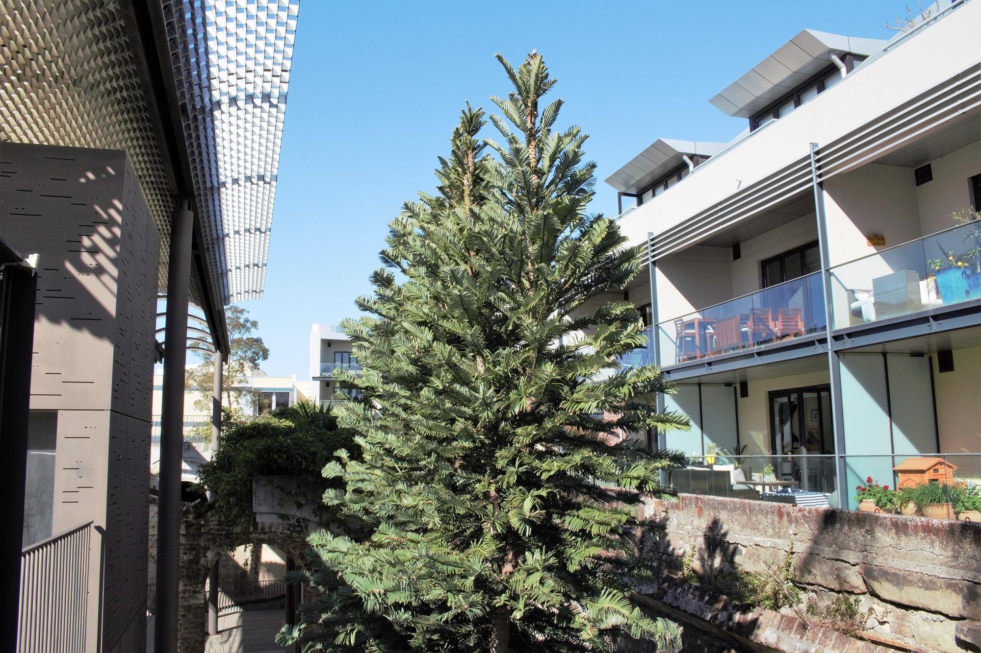 Sydney Wollemi Pine