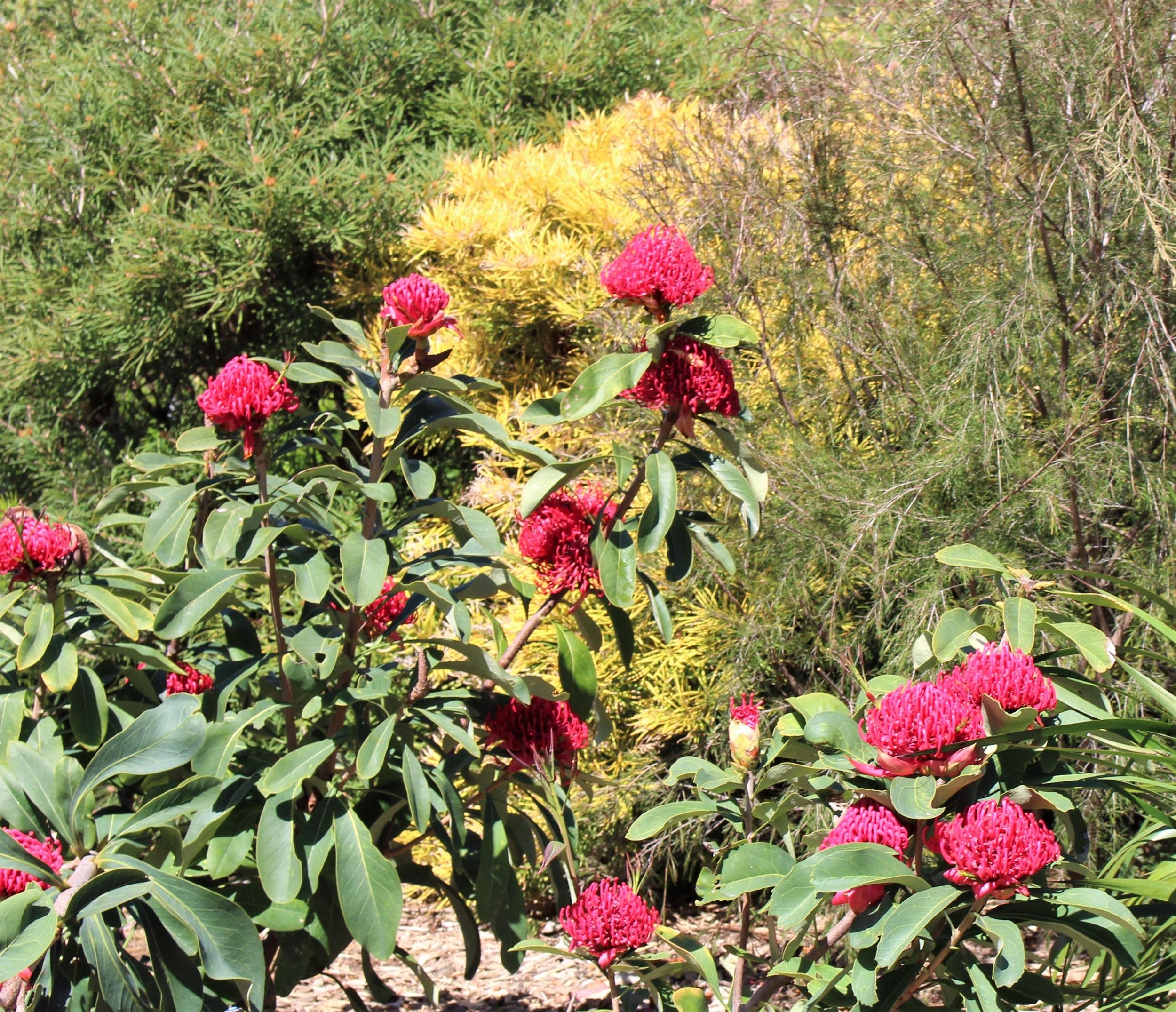 Waratahs in the Gardens