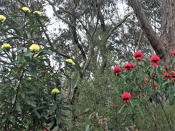 - Somewhere in the Blue Mountains - yellow and red Waratahs