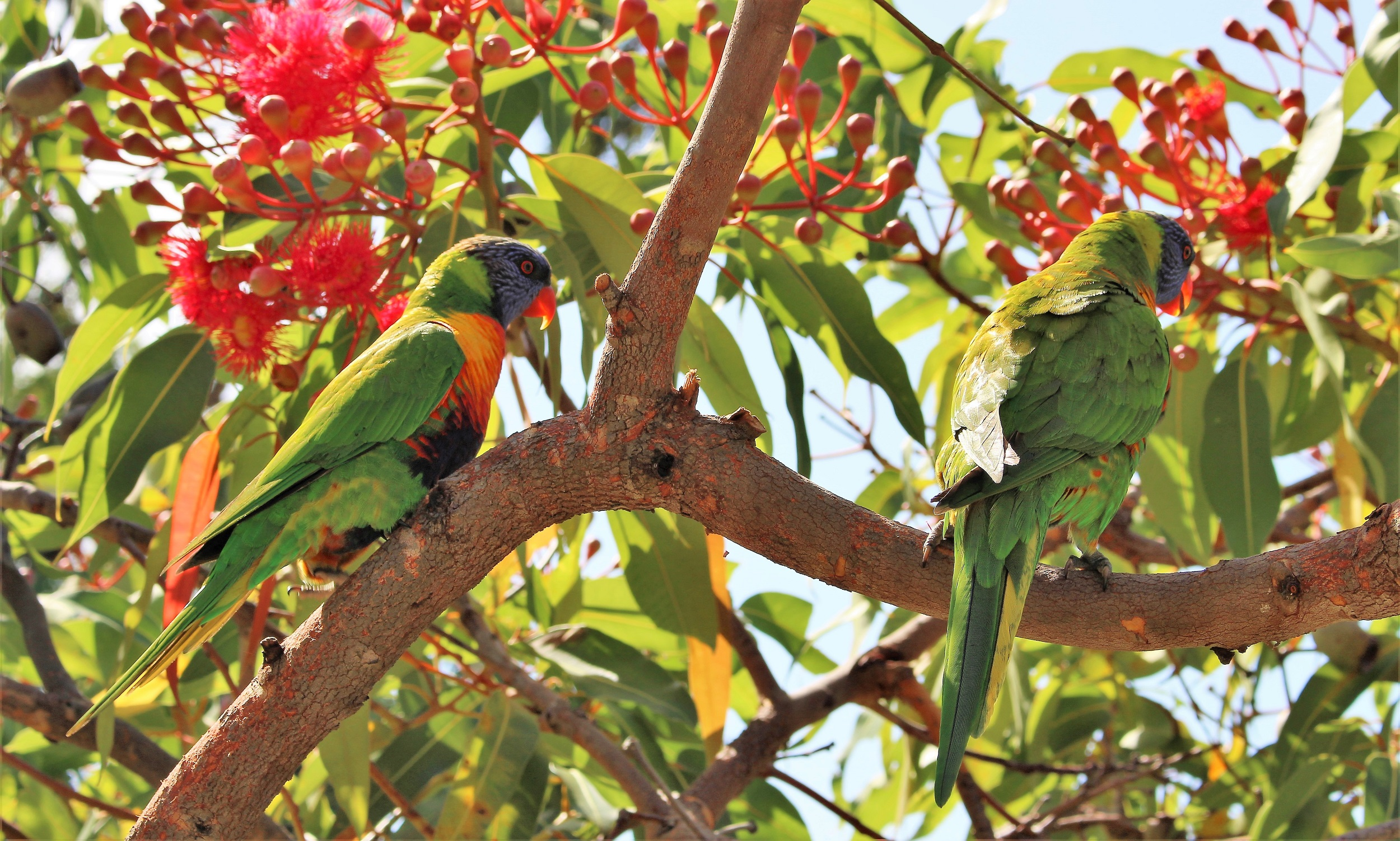 an item? - probably Rainbow Lorikeets commonly travel in pairs