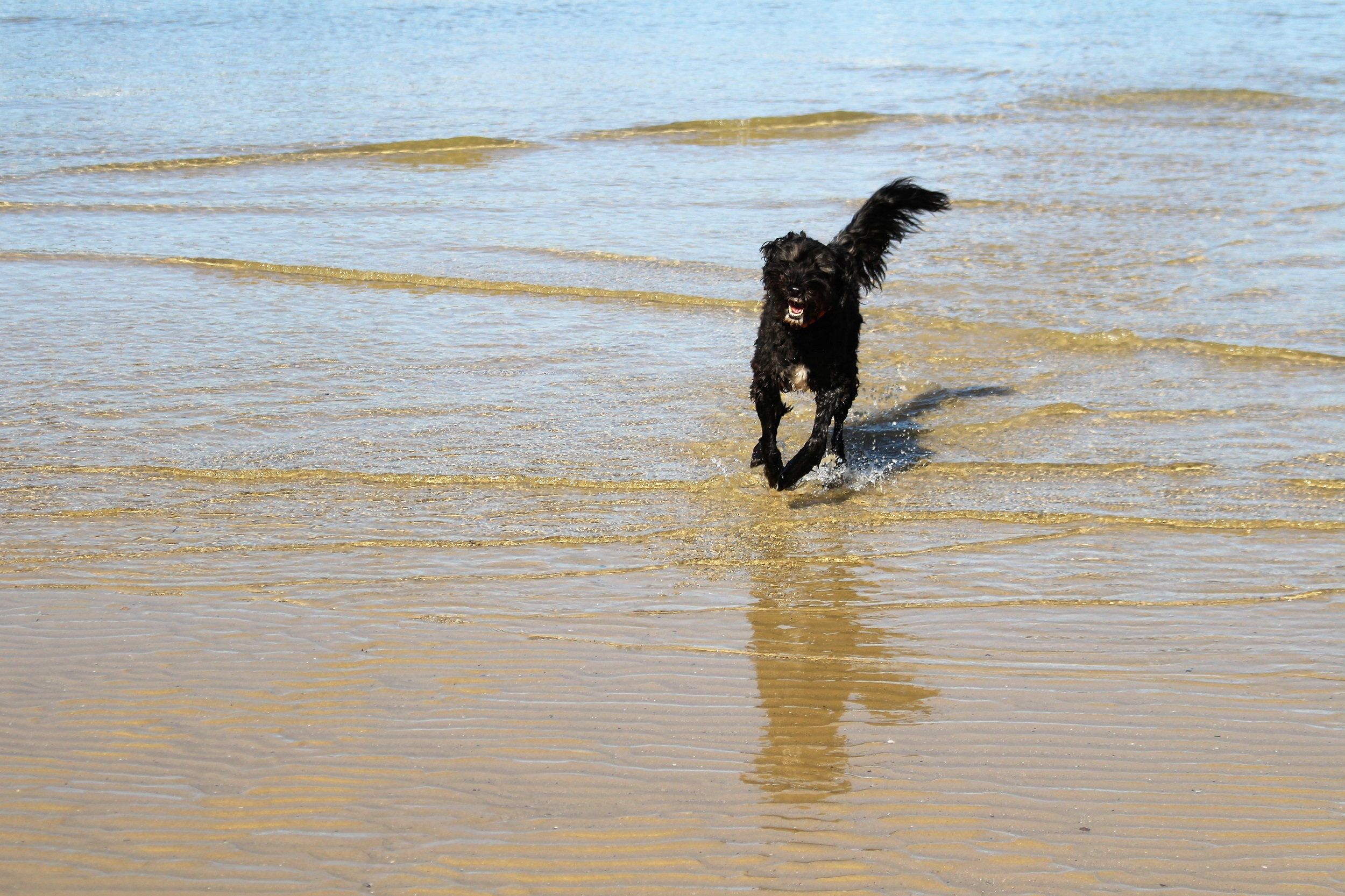 The official canine representative of Sydney Nimble Tours at full speed - Sandy Bay, a designated dog beach near Clontarf Beach.