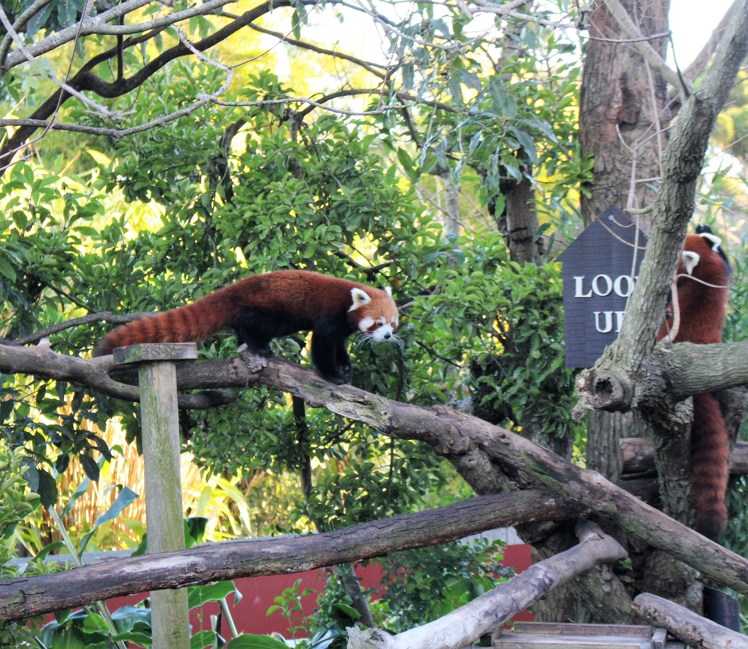 prowling red panda