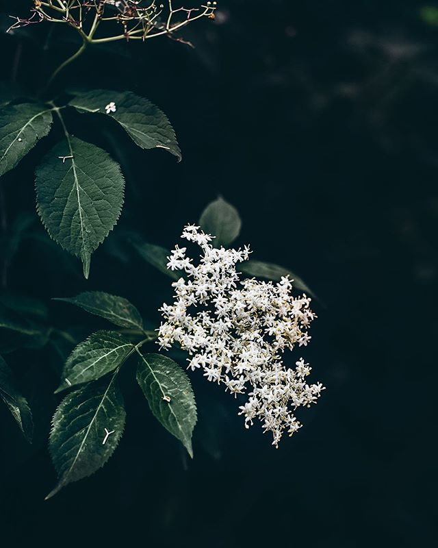 Summer is not the same without elderflowers 🌿