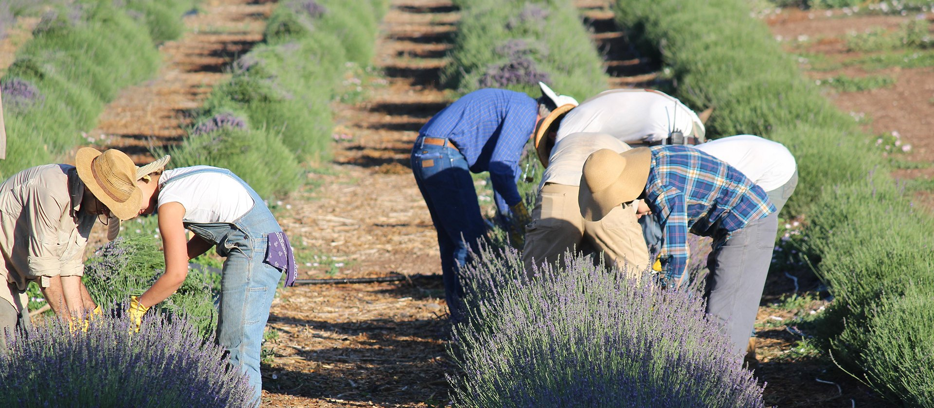 Lavender_Harvest_2014_volunteers_2048x2048.jpg