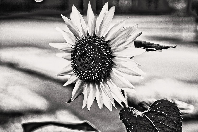 Wiese_Sunflower_MG_5493_lzn.jpg