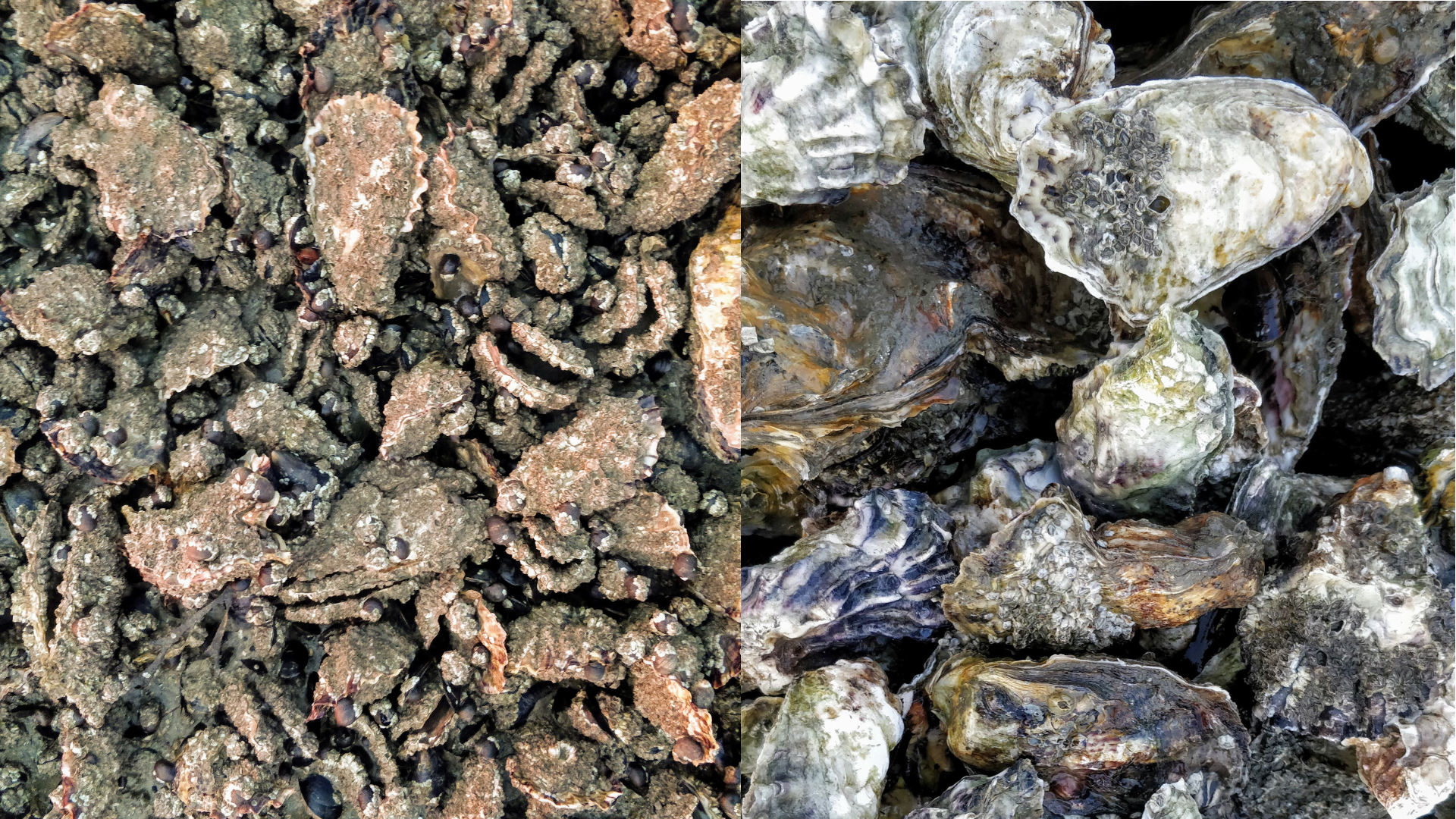 Oysters before (left) and after (right) being washed clean of their coat of barnacles.