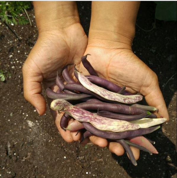 mk-beans-garden.jpg.png