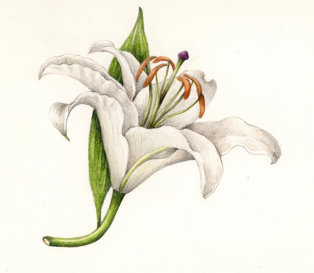 Lily-Lilium.jpg