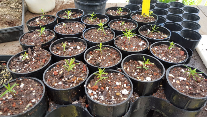 Young-redwood-trees-prior-to-planting (1).jpg