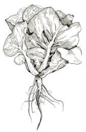 Lettuce-.png