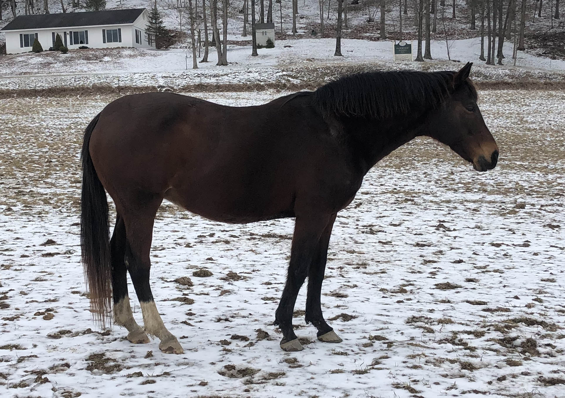 Opal - 16.1 hand 2002 Oldenburg GOV mare. She is sired by Opus* and out of Miss Nickel Annie.