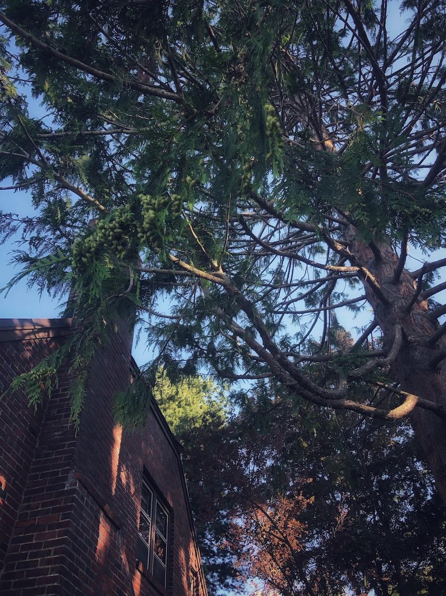 The cedar tree in my front yard where I gather fallen cedar branches