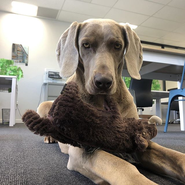 Today we have Harry working in the office! 🚀 🚀 🚀 🚀 #nichesharedspace #coworking #sharedspace #rangiora #northcanterbury #community #collaboration #weimaraner #officedog