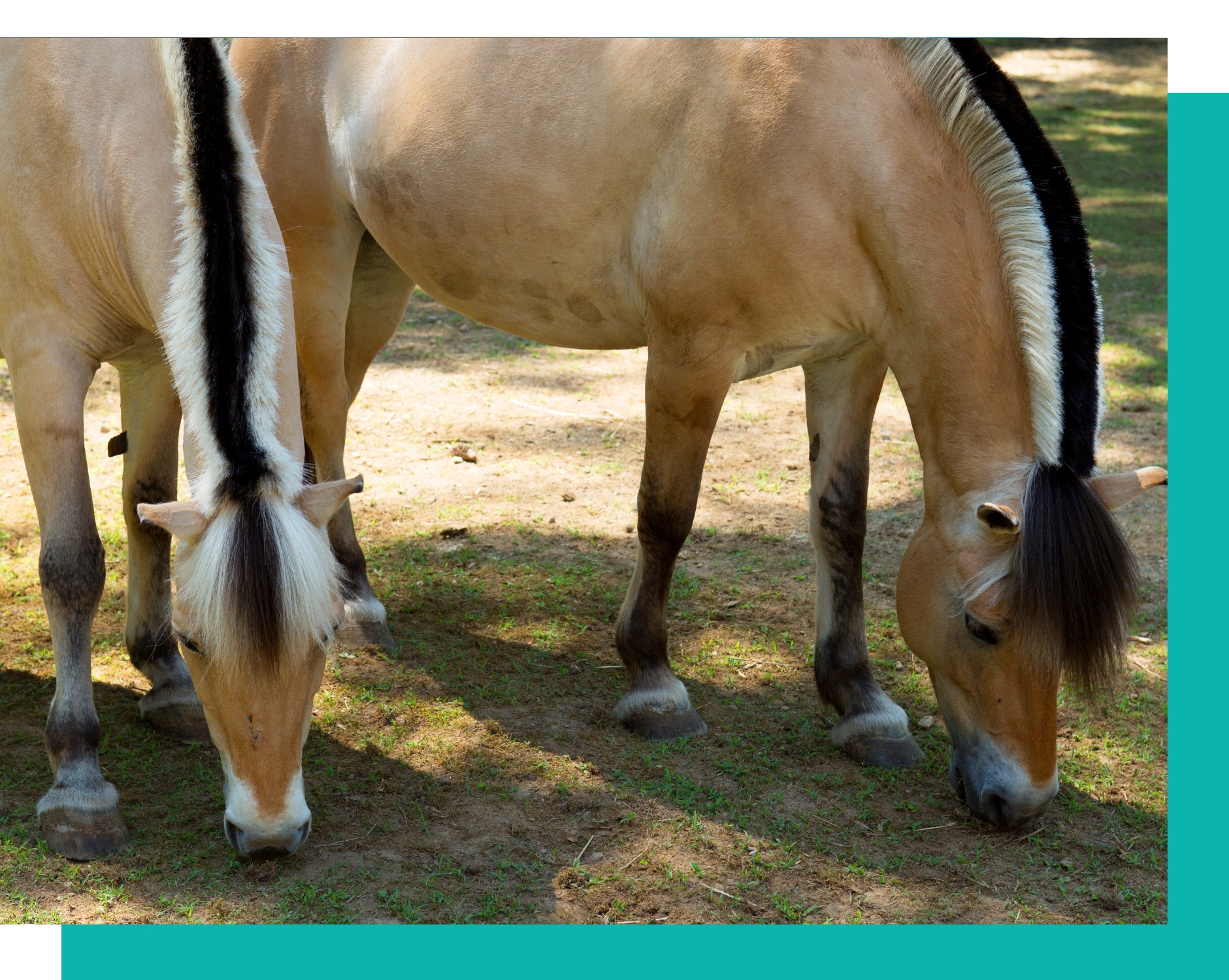 Pony Power is home to 22 seasoned therapy horses and ponies. -