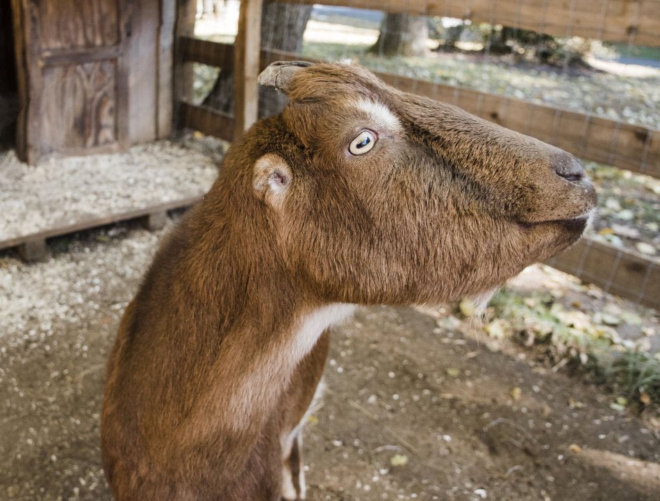 George, an American La Mancha goat like his brother Fred, walks happily around the farm on a leash.