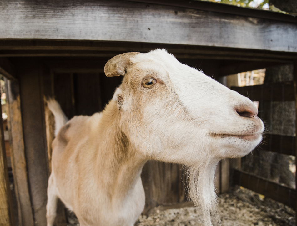 An American La Mancha goat, Fred and his brother George are easily recognizable by their small ears that favor the shape of a human ear. Fred loves to cuddle first thing in the morning!