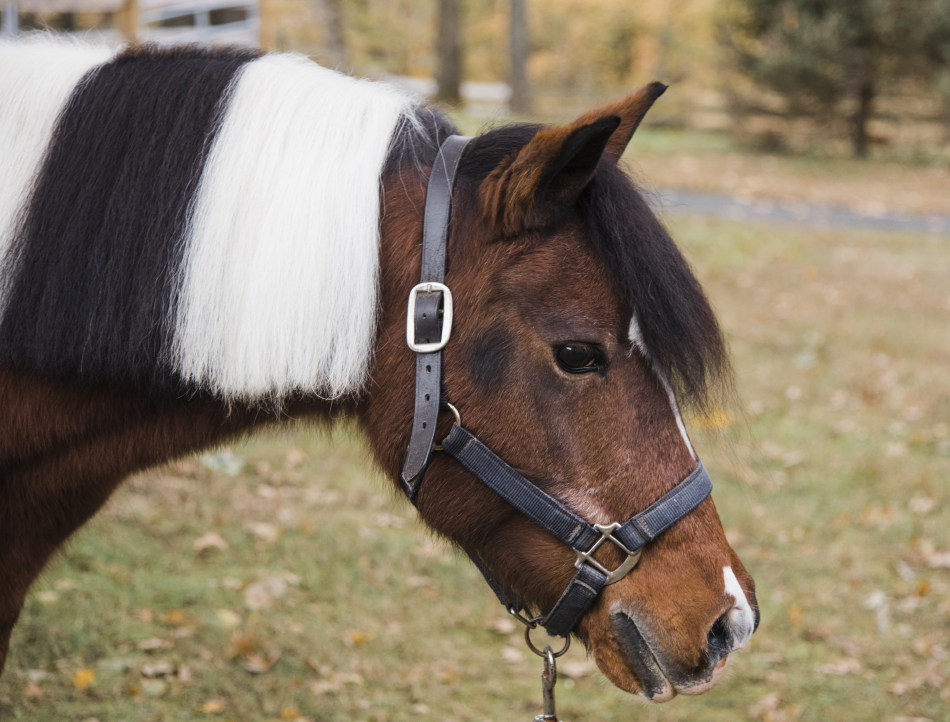 Cheyanne is one of our longest serving ponies She's a fixture in our non-riding horse-assisted learning and All HANDs In after-school programs.