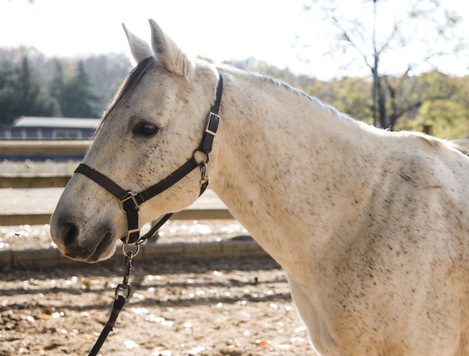 CC is one of our longest serving horses and is a very special member of our herd. Originally a ranch horse, CC has an energetic gait and the sensitivity to anticipate seizures in riders.