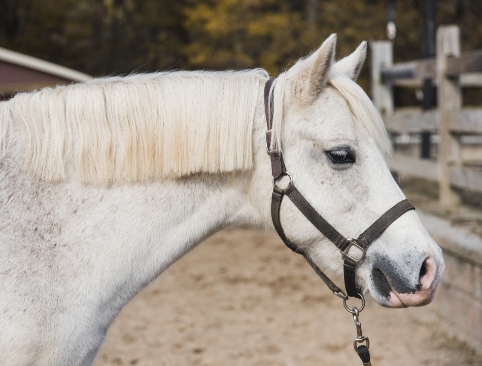 Charm is a Welsh pony with unique blue-brown eyes who loves attention. He's a patient pony, who gives riders a smooth and consistent ride.