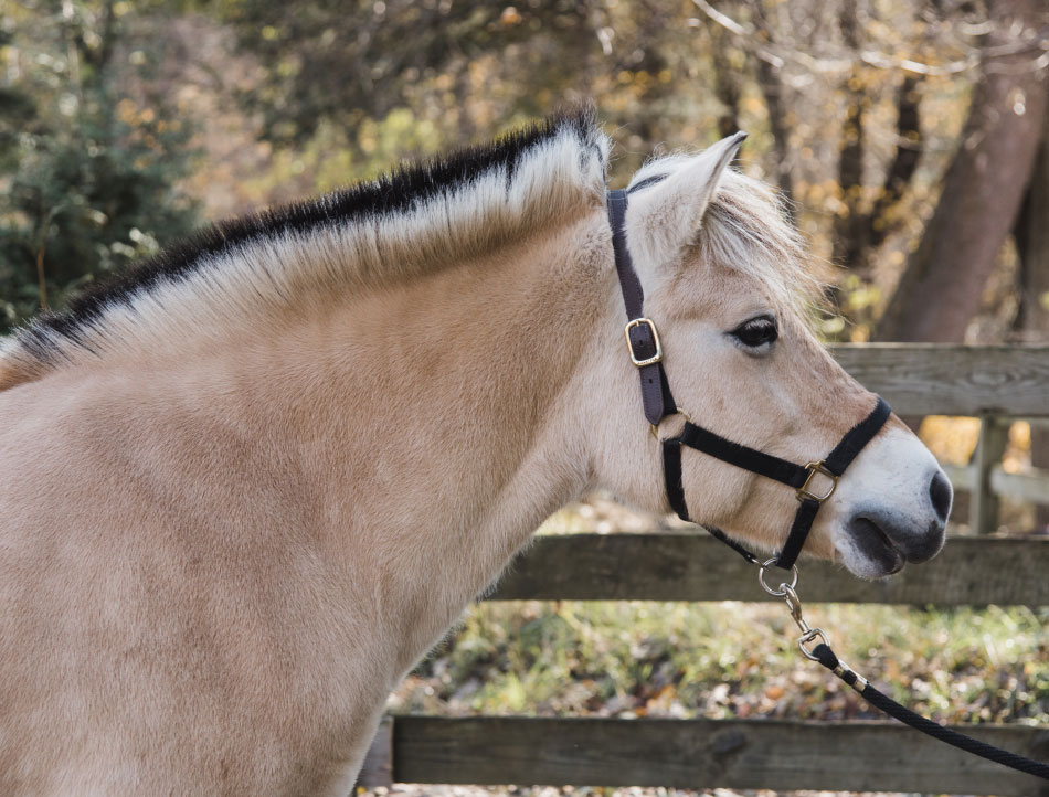 Evie is a Norwegian Fjord bred at Blue Heron Farm in Massachusetts. She was purchased by David and Susan Viniar in honor of David's mother, Evelyn. Evie is a loving horse with a slow and steady gait.