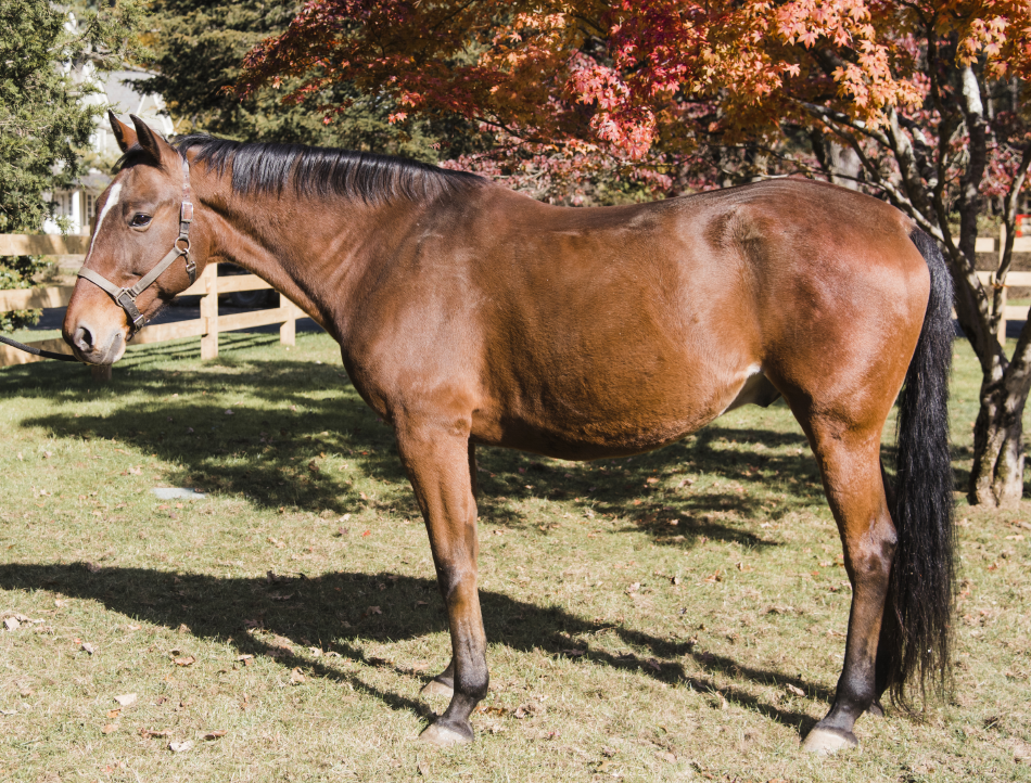 Larry (a.k.a. Matt) is a standardbred who once raced as a pacer. His unique, lateral gait brings a new type of input to his riders.