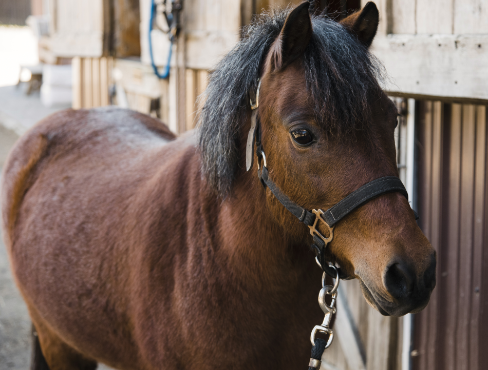 Luna is a Welsh pony who loves people. Her small size makes her a perfect match for our youngest riders.