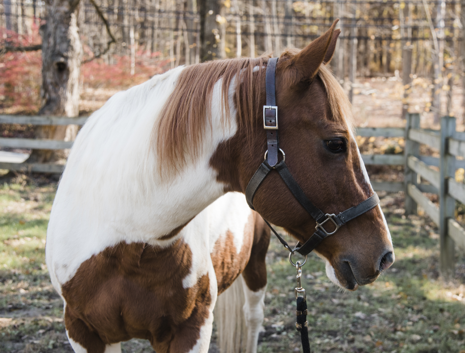 Merle was once a companion for racehorses. He's an excellent teacher for riders working toward independence.