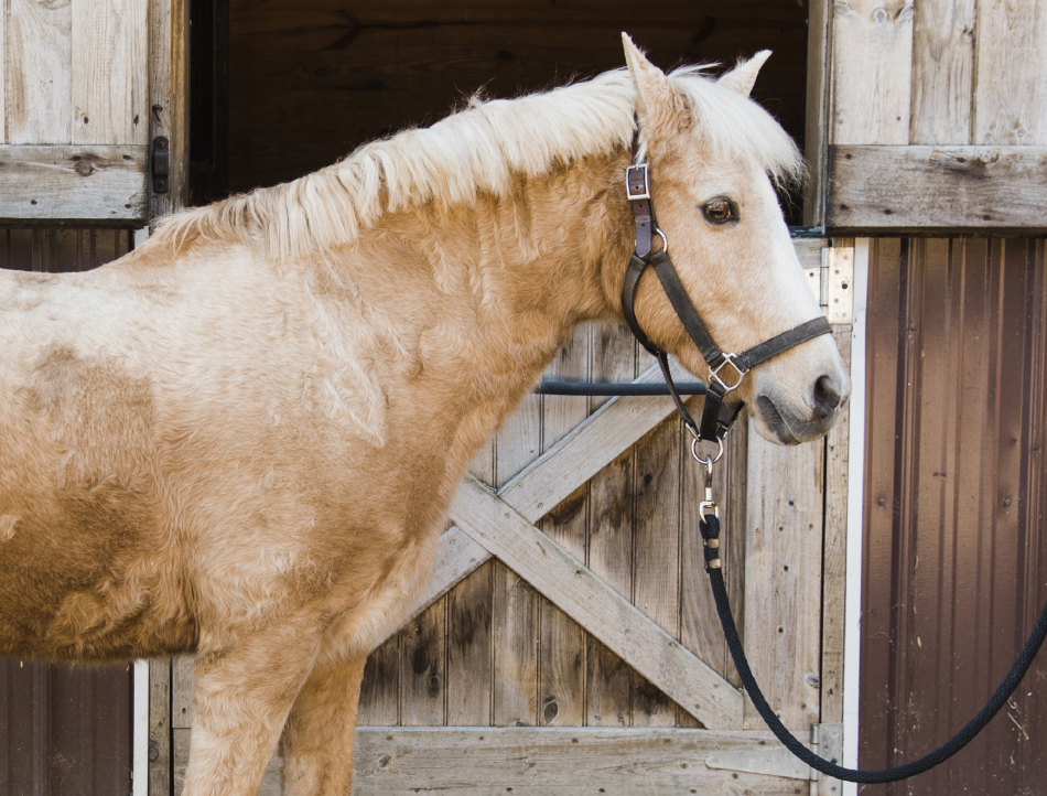 Princess is a former show pony. This compact palomino has helped a number of Pony Power riders achieve independence.