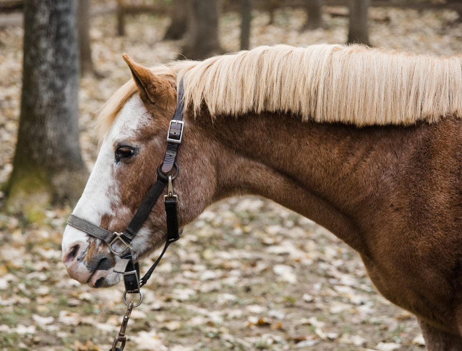 Red Hot is a Pony of the Americas. His naturally forward walk gives his riders a fun, high-input ride.