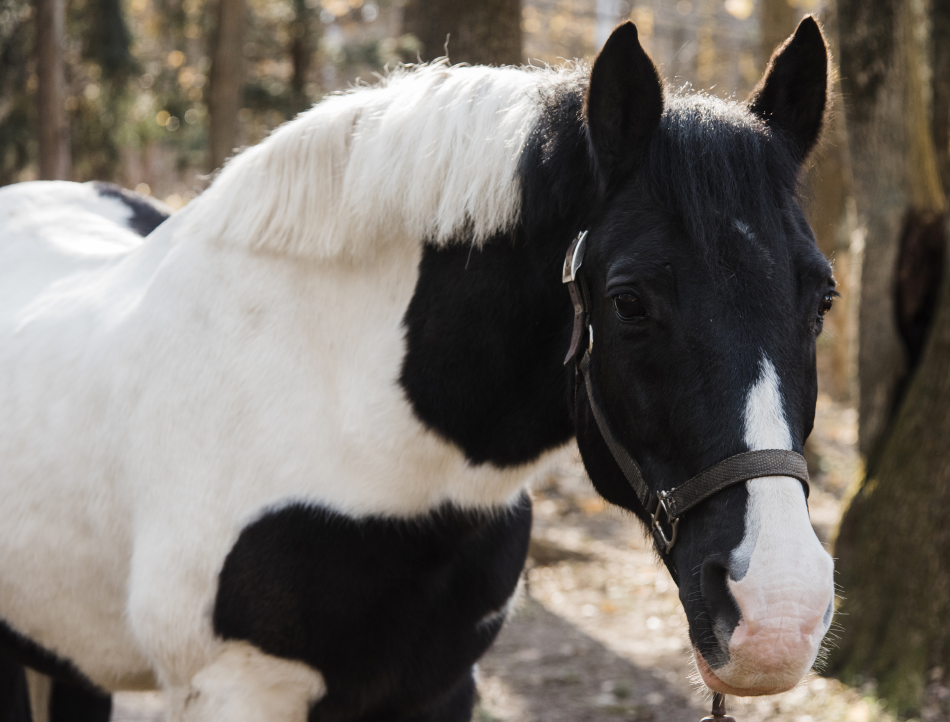 Westie is a former show pony who is prized for his calm demeanor and steady, rhythmic walk.
