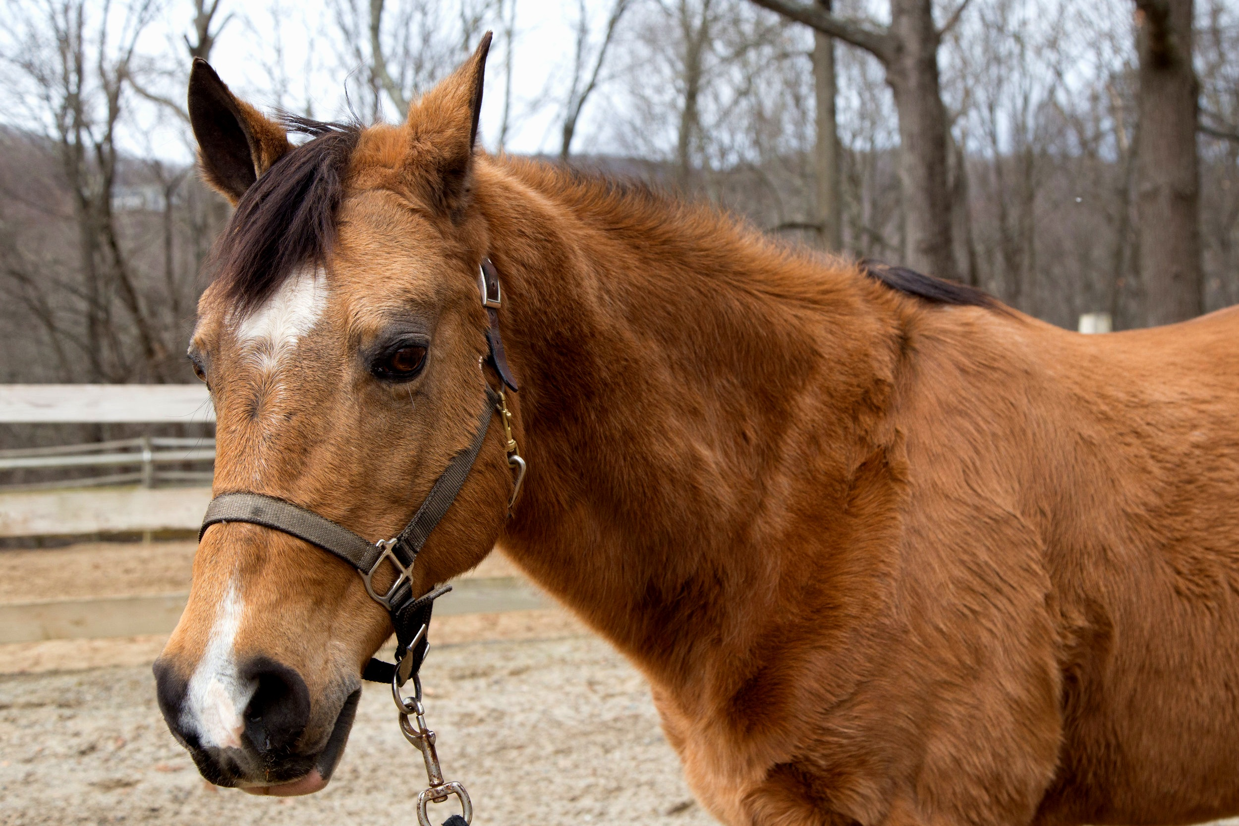 Dancer is a buckskin Quarter Horse with a Western-style competition background. She's affectionate and connects well with people.