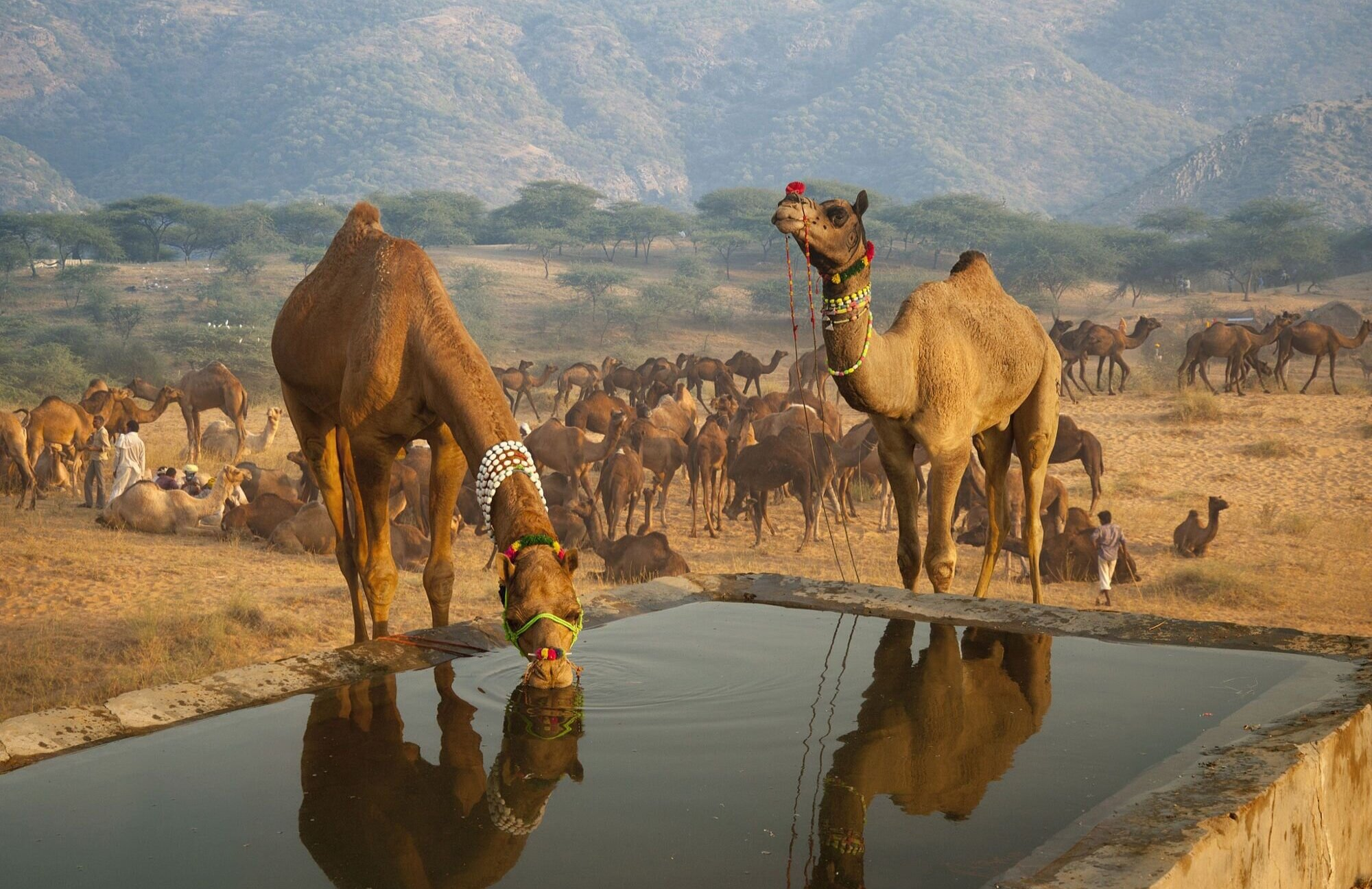 camel+drinking.jpg