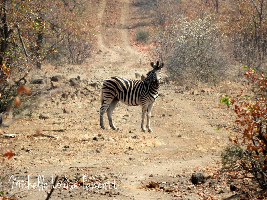 lone-zebra.jpeg