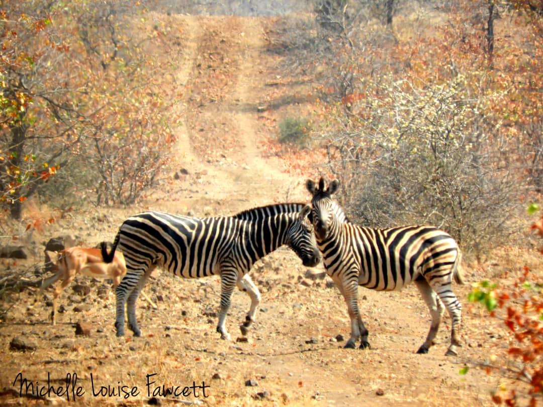 zebra-couple.jpeg