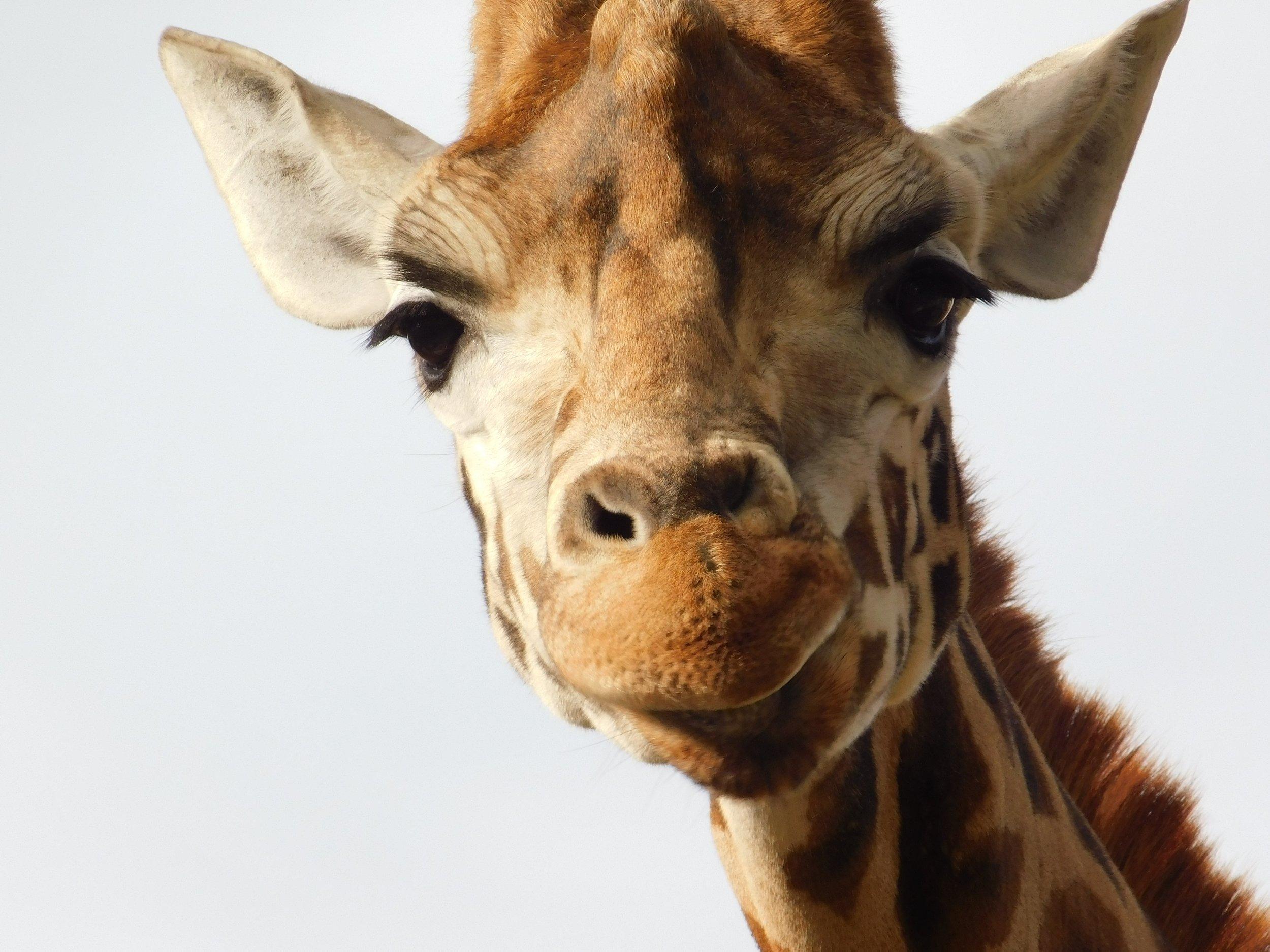 giraffe smile.jpg