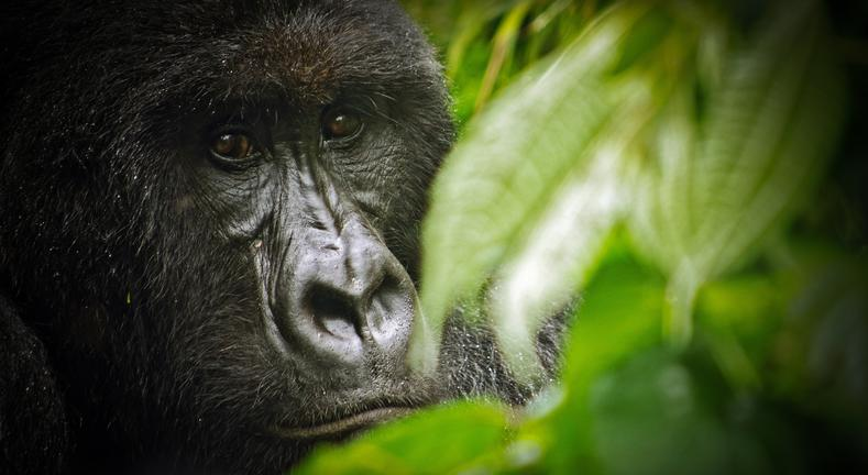- Gorilla & Volcano Trekking