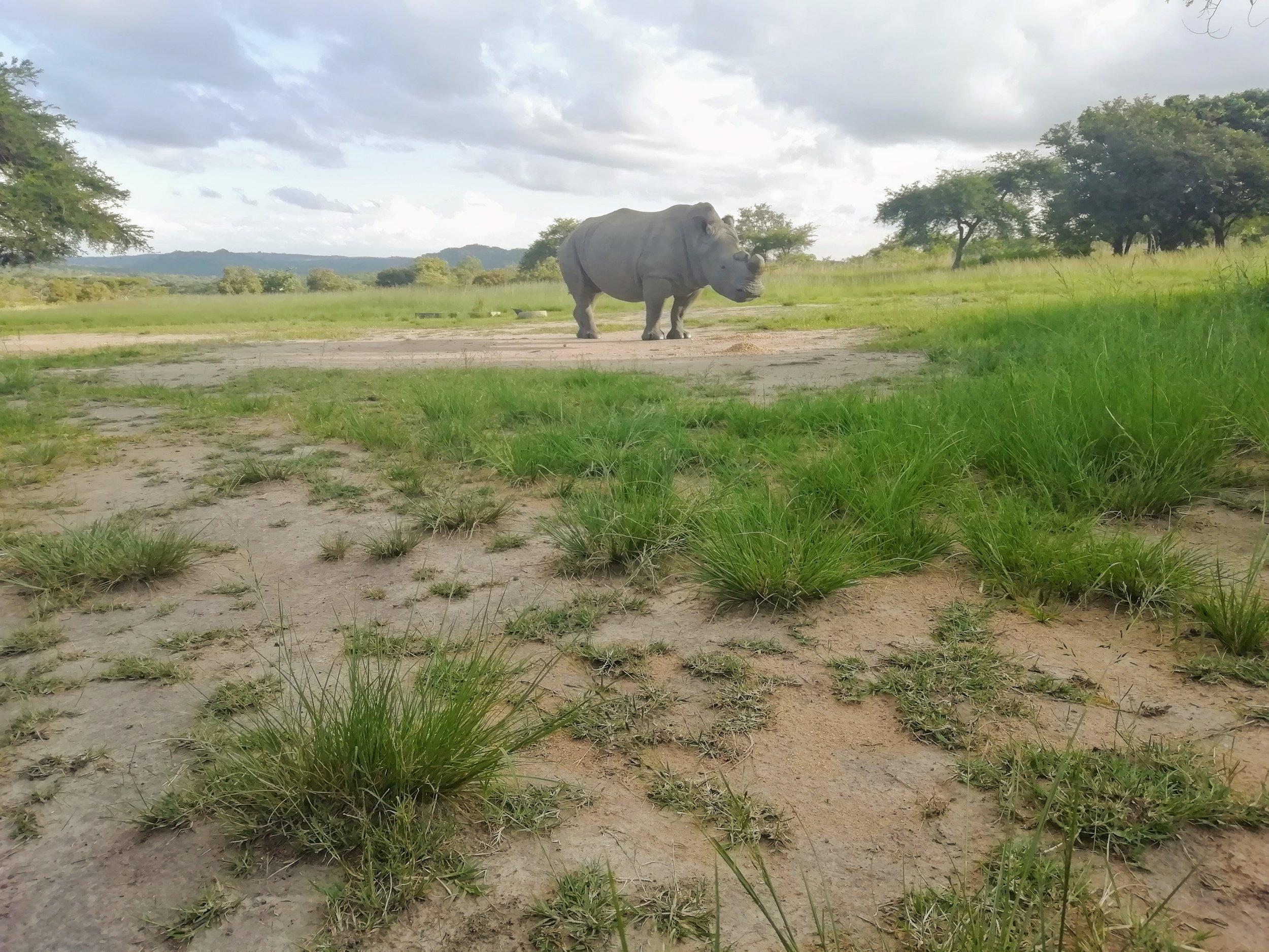 Rhino at Thetford Game Reserve