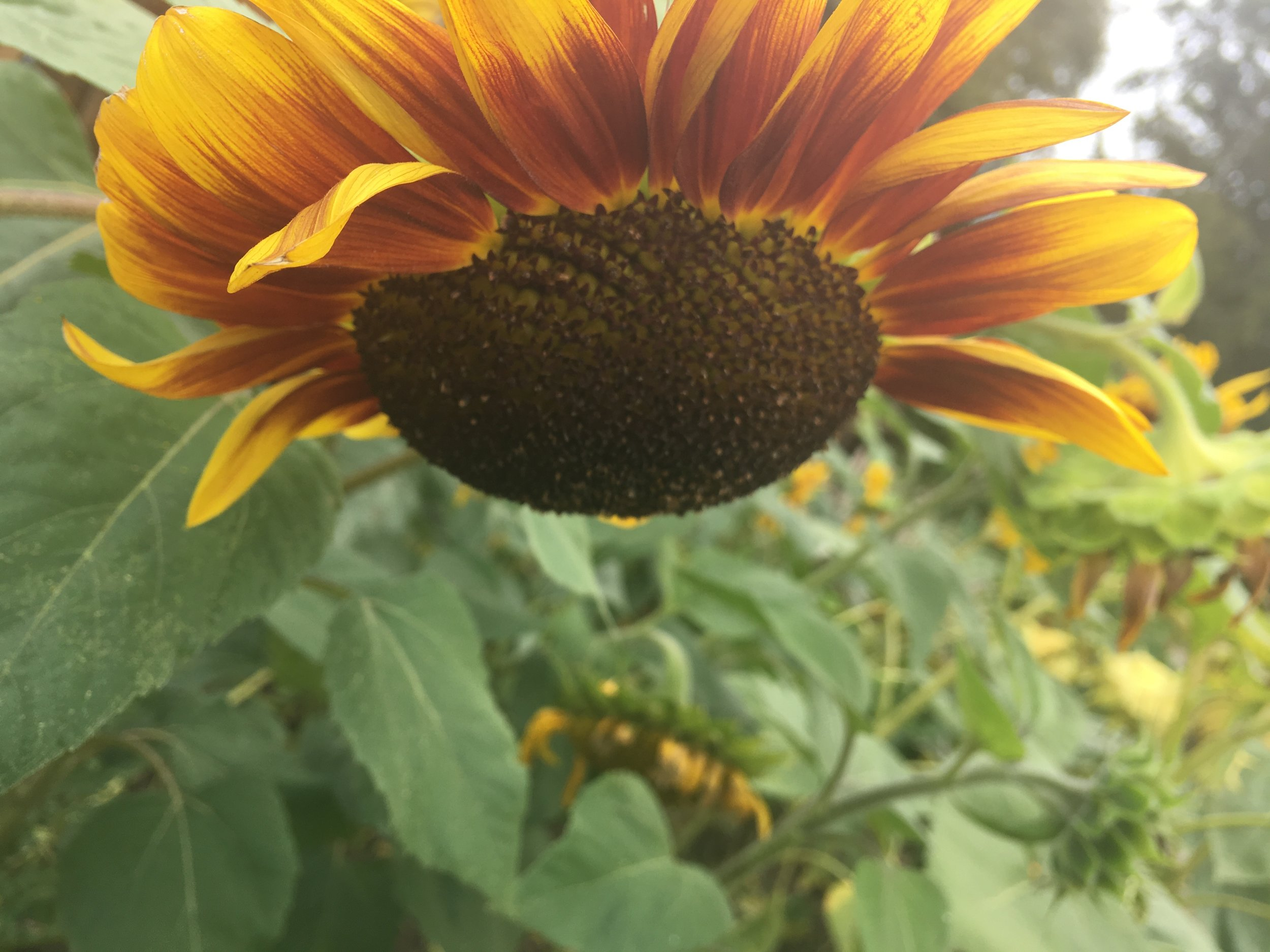 Sunflowers in bloom at Goscote Greenacres