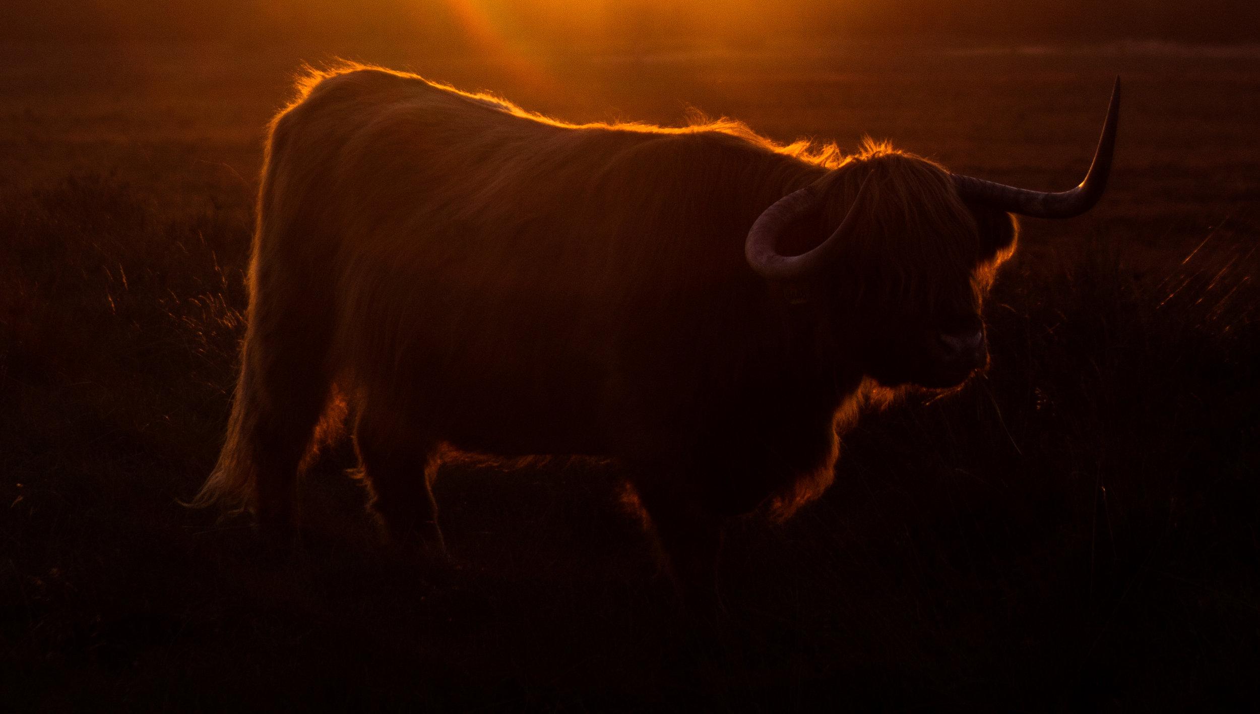 Highlander during sunset