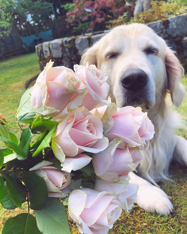 PSA from Fergus: 'Remember to bork and smell the roses!' 🌹 #goobmorning