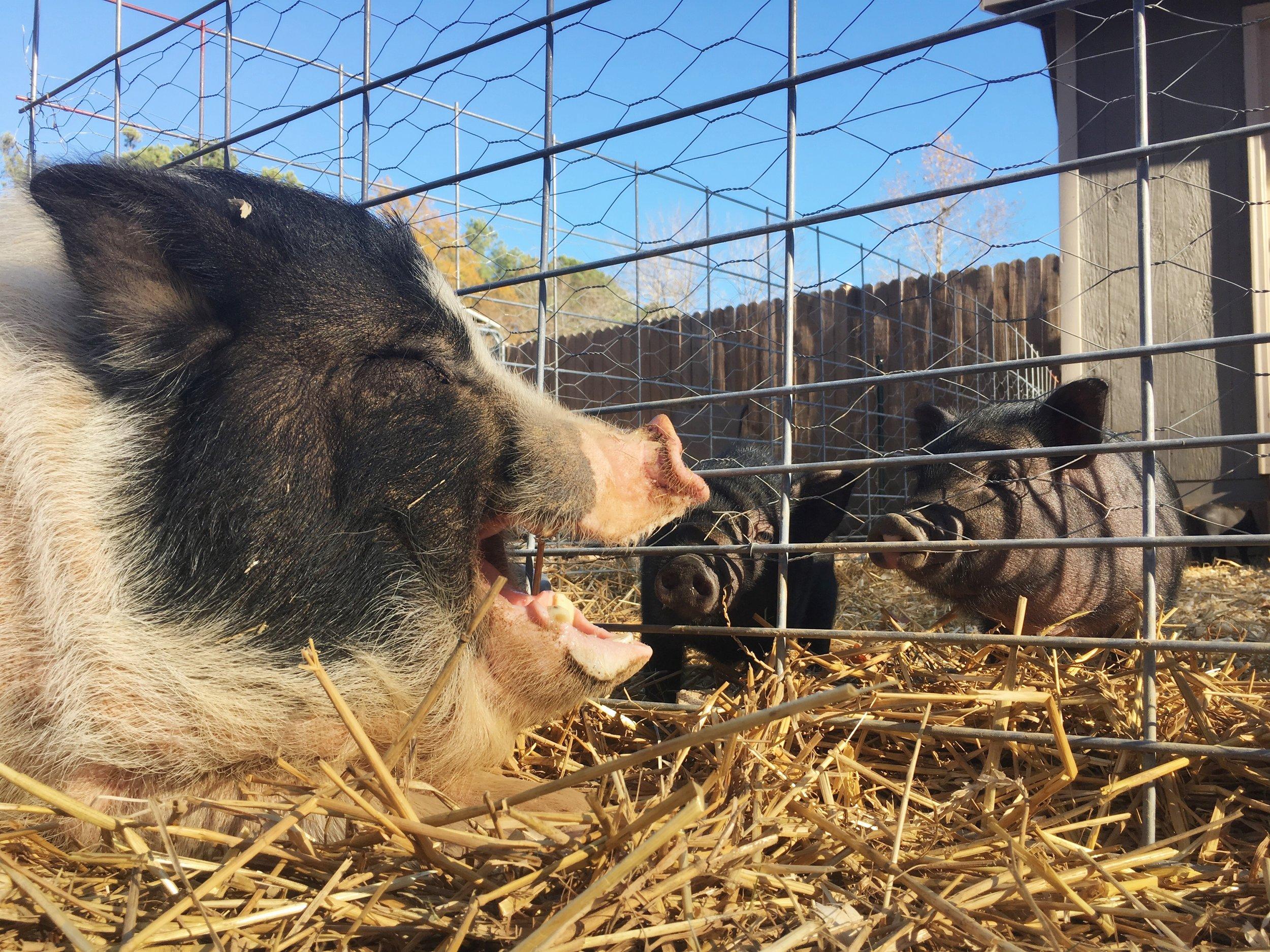 Sebastian with piglets