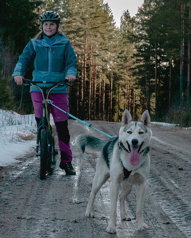 The snow might soon be gone, but the huskies keep mushing on. New for this year is the kickbike tours with one or two sled dogs. It's a great experience and the dogs love it.  #belowzerohuskytours #hundspann #explore #nature #visitsweden #visitdalarna #siberianhusky #mushinglife #slädhundar #workingdogsofinstagram #huskies #huskiesofinstagram #sweden #falun #dogbike_se #travel #siberianhuskylife