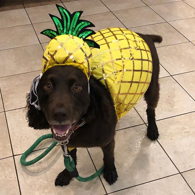 Happy Halloween!!! Dropped off the Fetch pup this AM at @creativedogtraining for their annual costume contest!! Fingers crossed for our little 🍍!! 🐶🍍 Are you dressing your pup up for Halloween??? If so, let us know in the comments below! 🐶