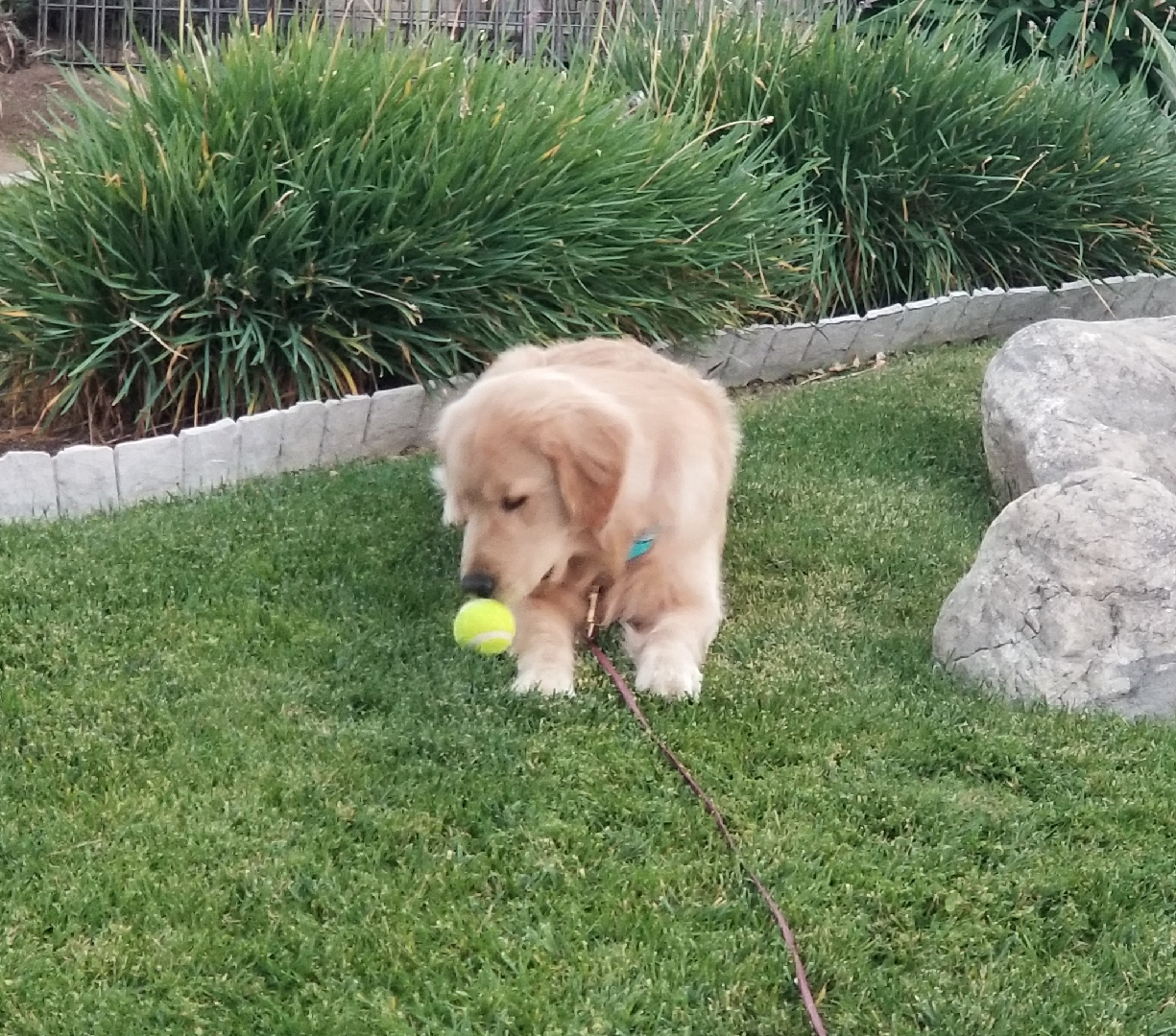 Meet Reign - our Independence Service Dog Foundation puppy in training.