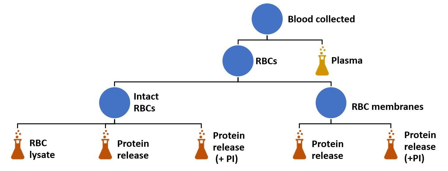 Figure 1. Schematic of how Sangui Bio processes blood to produce a broad range of samples for the purposes of biomarker discovery including RBC lysates and protein released with and without our proprietary protease inhibitor system (PI). The image of a flask identifies the samples that are analysed following production.